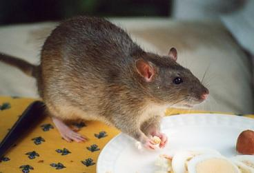 Rattenplaag In Tuin : Ratten bestrijden in de tuin op de beste manier tips en informatie